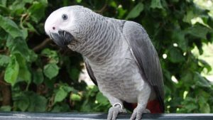 African-Grey-Parrot-Pictures-Images-Photos-570x321